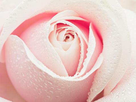 Single Flower「Close up of dew droplets on pink rose」:スマホ壁紙(7)