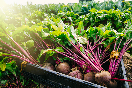 St「Close up of fresh beets in crate in farm field」:スマホ壁紙(7)