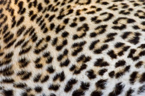Animal Hair「Close up of Leopard, Greater Kruger National Park, South Africa」:スマホ壁紙(1)