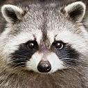 Raccoon壁紙の画像(壁紙.com)