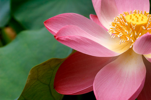 Tropical Flower「A close up of a Macro Lotus flower」:スマホ壁紙(8)