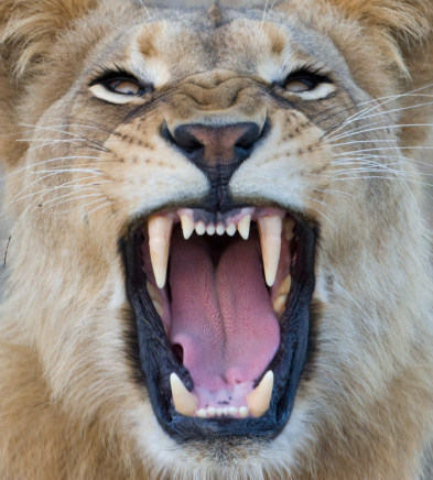 Animal Head「Close up of lion growling」:スマホ壁紙(16)