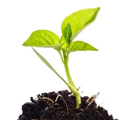 Planting「Close up of fresh green vegetable seedling flourishing in dirt」:スマホ壁紙(12)
