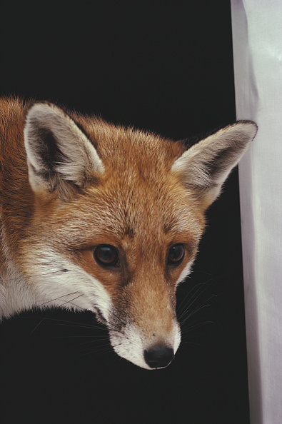 Animal Head「Red Fox」:写真・画像(8)[壁紙.com]