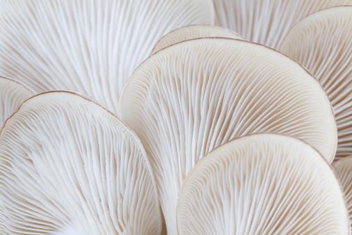 Botany「Close up of white colored Oyster mushroom」:スマホ壁紙(6)