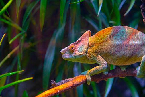 Extinct「Chameleon」:スマホ壁紙(3)