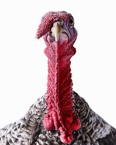 Animal Head「Turkey」:スマホ壁紙(18)