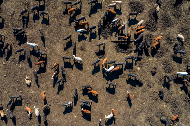 Beef Cattle From Above:スマホ壁紙(壁紙.com)