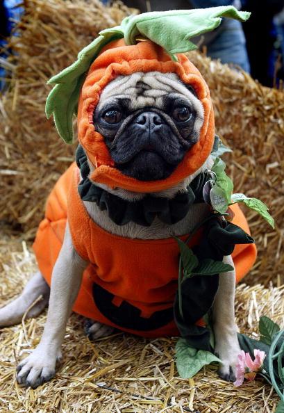Pets「Dog Halloween Parade in NYC」:写真・画像(16)[壁紙.com]