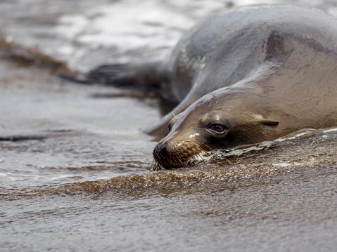 Sea Lion「Galápagos Sea Lion Resting On Beach」:スマホ壁紙(8)