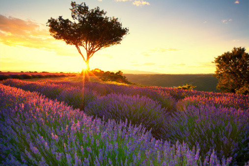 Agricultural Field「Lavender in Provence at sunset」:スマホ壁紙(8)
