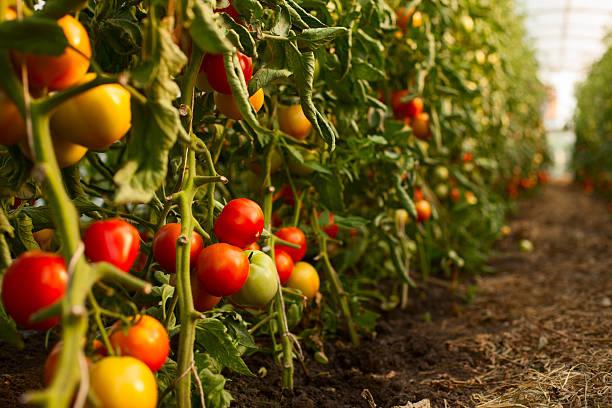 Tomato growing in greenhouse:スマホ壁紙(壁紙.com)