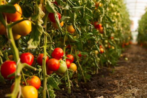 Planting「Tomato growing in greenhouse」:スマホ壁紙(8)
