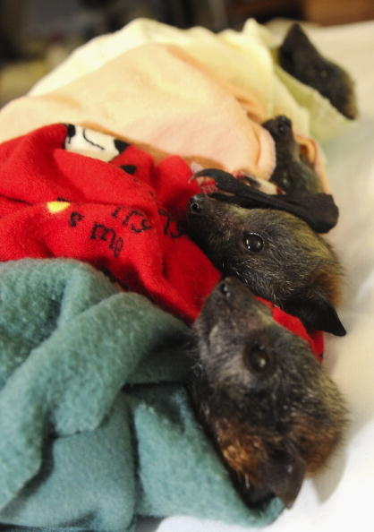 Recovery「Baby Flying Foxes Rescued In Queensland」:写真・画像(17)[壁紙.com]