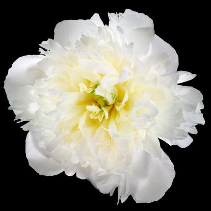 Single Flower「White carnation on black background」:スマホ壁紙(11)