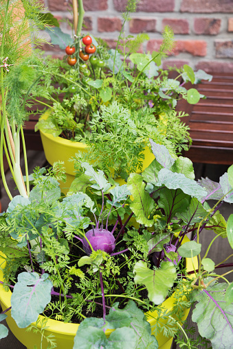 Fennel「Vegetables growing in recycled plastic plant pots on balcony」:スマホ壁紙(9)