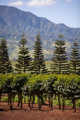 コオラウ山脈「A row of coffee plants」:スマホ壁紙(18)