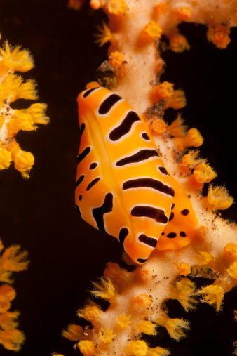 Soft Coral「Tiger cowrie on yellow sea fan, Bali, Indonesia.」:スマホ壁紙(10)