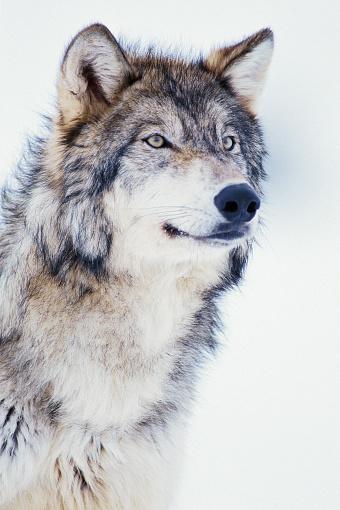 1990-1999「Winter Timber Wolf」:スマホ壁紙(12)