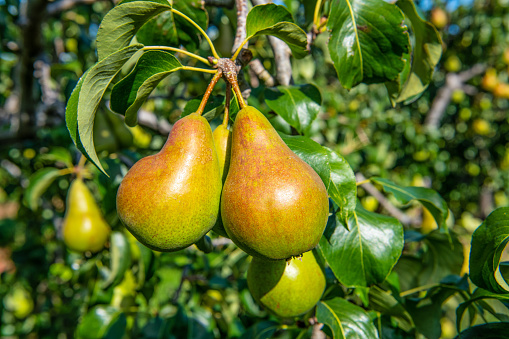 Branch - Plant Part「Pear Concord fruit on tree. Norfolk. UK」:スマホ壁紙(0)