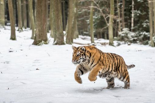 Tiger「Young Siberian tiger hunting in snow」:スマホ壁紙(0)