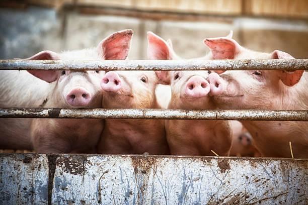 Four little pigs.:スマホ壁紙(壁紙.com)