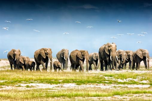 Flock Of Birds「Herd of African Elephants, Amboseli National Park」:スマホ壁紙(8)
