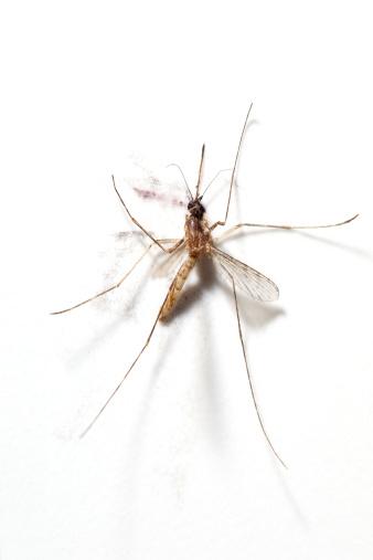 ウェルシュ・コーギー「Squashed Mosquito」:スマホ壁紙(7)