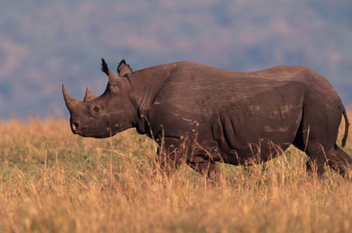 Horned「Black rhinoceros (Ceratotherium simum) walking on savannah, Kenya」:スマホ壁紙(14)