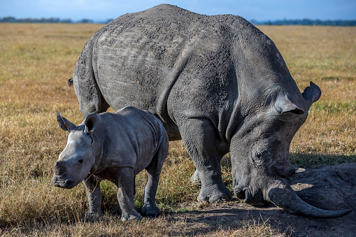 Horned「Black rhino mother with baby grazing in laikipia.」:スマホ壁紙(8)