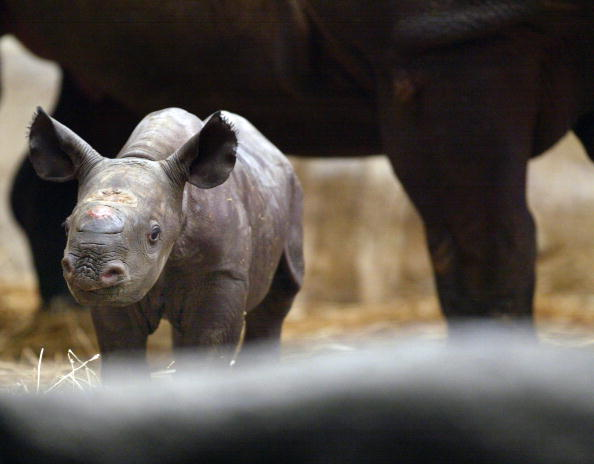 East Asia「Endangered Black Rhinoceros Born At Illinois Zoo」:写真・画像(0)[壁紙.com]