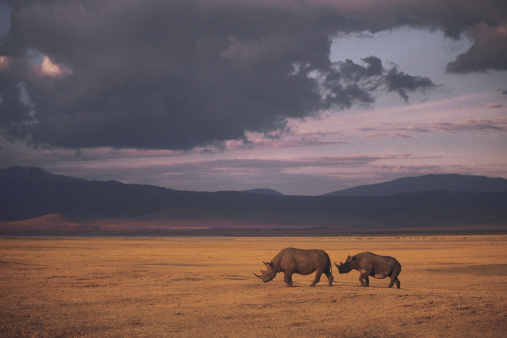 Walking「Black rhino on savanna」:スマホ壁紙(5)