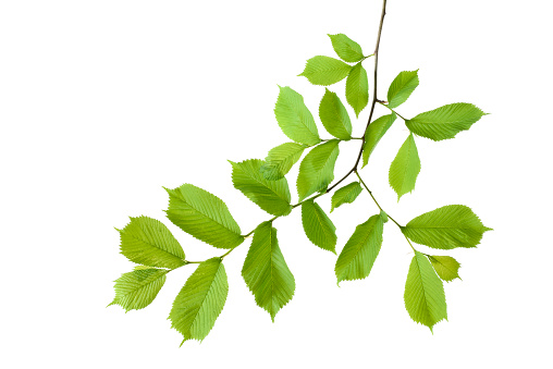 Branch - Plant Part「Elm, Ulmus minor, Ulmaceae, leaves against white background」:スマホ壁紙(14)