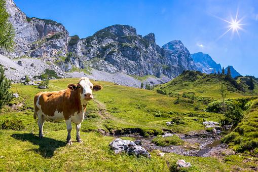 Indigenous Culture「Happy Cow on an alpine meadow」:スマホ壁紙(6)