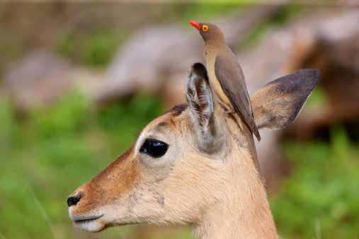 Animal Themes「Red-billed Oxpecker on impala's head」:スマホ壁紙(16)