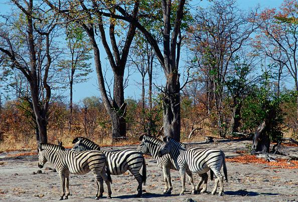Animal Hair「Burchell's Zebra, Moremi, Botswana」:写真・画像(19)[壁紙.com]