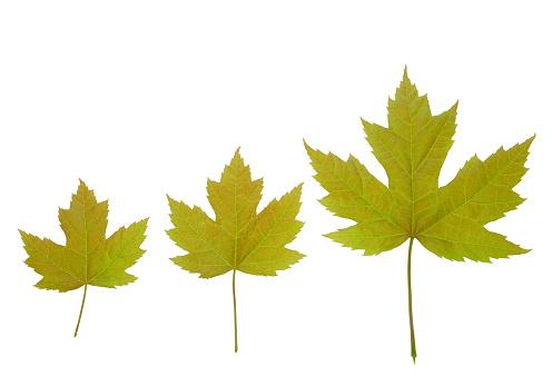 かえでの葉「Three Acer x freemandii 'Autumn Blaze' leaves in row.」:スマホ壁紙(17)