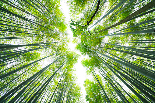 Satoyama - Scenery「Bamboo line in the sky at Bamboo Forest, Kyoto, Japan」:スマホ壁紙(2)