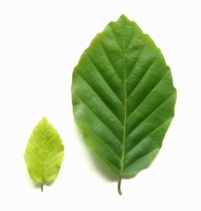 Side By Side「Young pale green beech leaf beside mature beech leaf.」:スマホ壁紙(11)