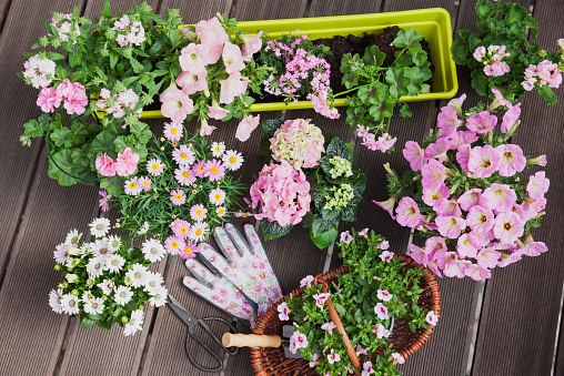 Hydrangea「Various pink blooming potted plants on terrace」:スマホ壁紙(9)