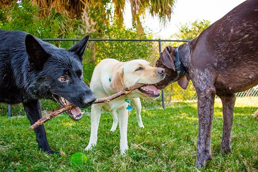 Gulf Coast States「Three dogs chewing on a stick, Fort de soto, Florida, United States」:スマホ壁紙(6)