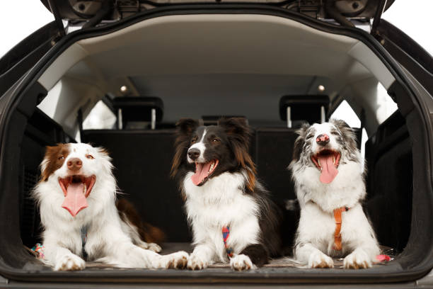 Three dogs ready to travel in the trunk of the car:スマホ壁紙(壁紙.com)
