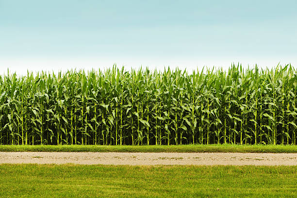 Healthy Corn Crop in Agricultural Field:スマホ壁紙(壁紙.com)