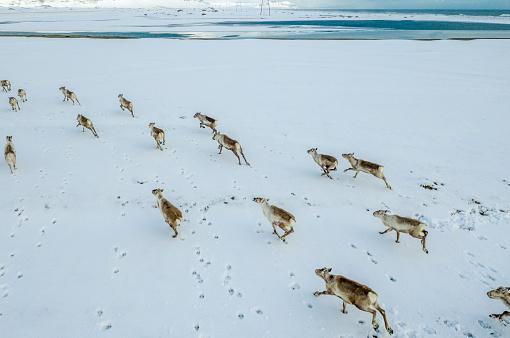 reindeer「Aerial - Winter, Reindeer running, Vatnajokull National Park, Iceland」:スマホ壁紙(15)