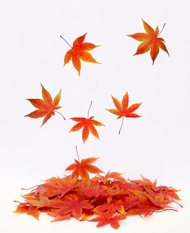 かえでの葉「Pile of autumnal maple leaves with leaves falling.」:スマホ壁紙(7)