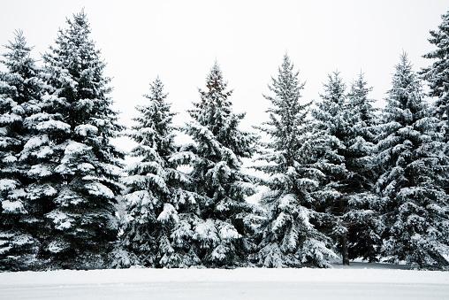 Wilderness Area「Winter Snow Covering Evergreen Pine Tree Woods Forest Landscape, Minnesota」:スマホ壁紙(6)