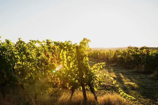 Nouvelle-Aquitaine「France, Nouvelle-Aquitaine, Department Gironde, Bordeaux wine region, Vineyard at sunset」:スマホ壁紙(8)