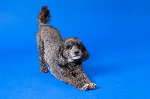 Stretching「Terri-poo (Terrier/Poodle cross); Dog in downward dog position」:スマホ壁紙(7)
