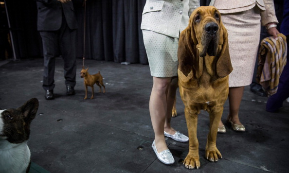 Nathan Burton「Champion Canines Compete At Annual Westminster Dog Show」:写真・画像(5)[壁紙.com]