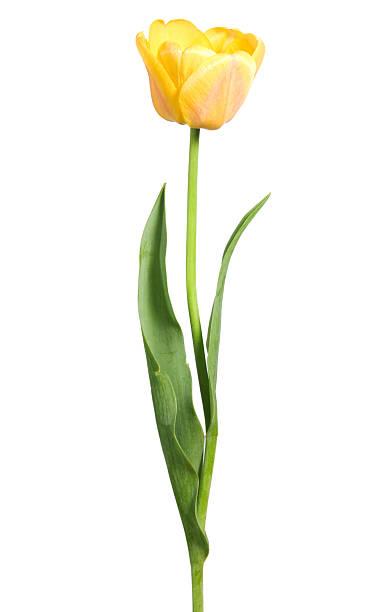 Yellow tulip:スマホ壁紙(壁紙.com)